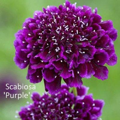 Scabiosa atropurpurea 'Purple'