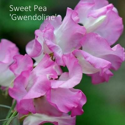 Sweet Pea 'Gwendoline'