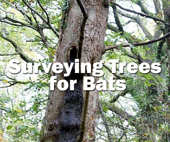 Bats: Surveying Trees for Bats (Bristol): Spring 2020
