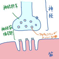 神経筋接合部④