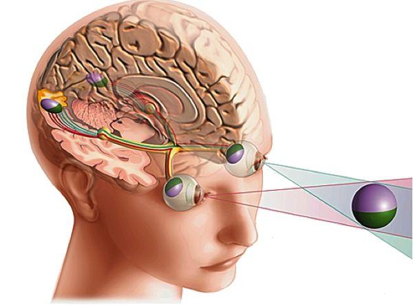Schéma du cortex visuel chez l'Homme