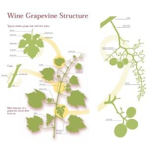 Draccaena Wines