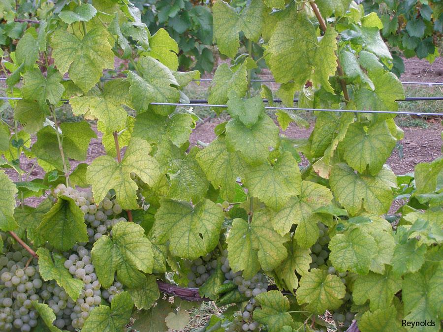 Grapevine Nutrient Deficiencies • Dracaena Wines