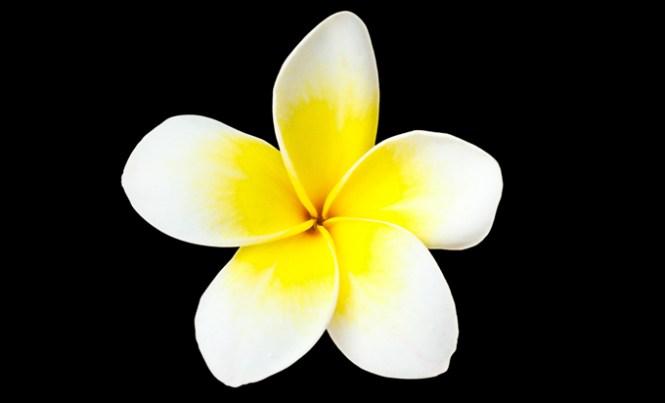 frangipani-black