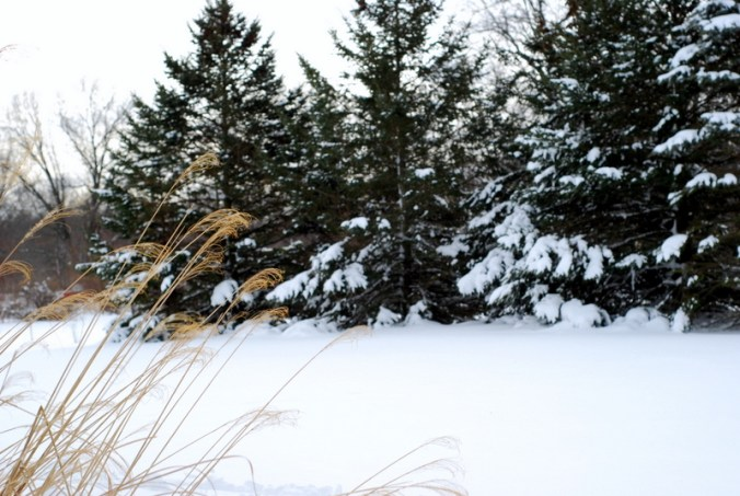 snowy pines 2