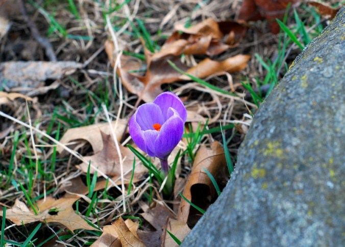 crocus and rock
