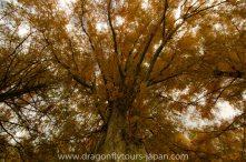Metasequoia, Dawn Redwood