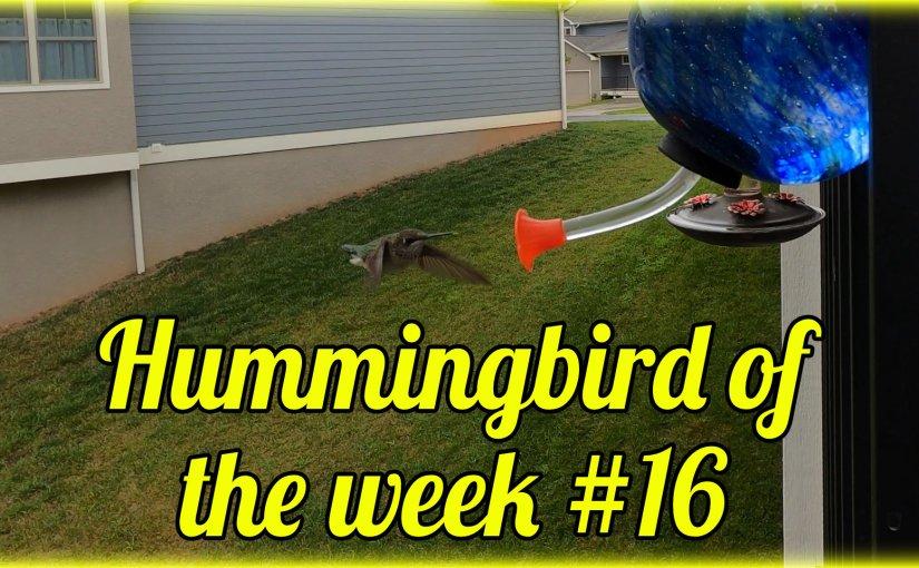 Hummingbird of the week #16