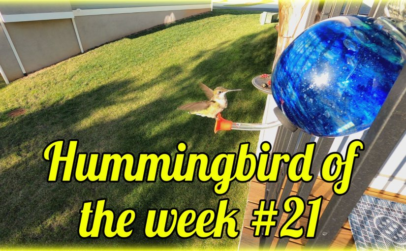 Hummingbird of the week #21
