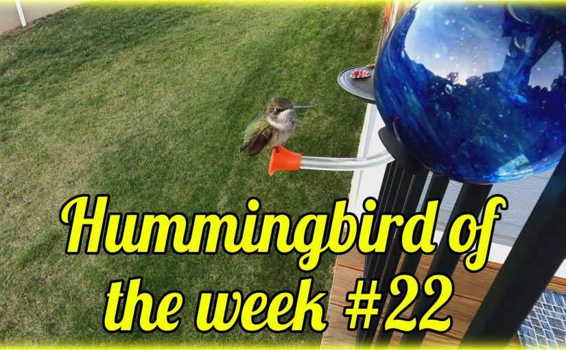 Hummingbird of the week #22