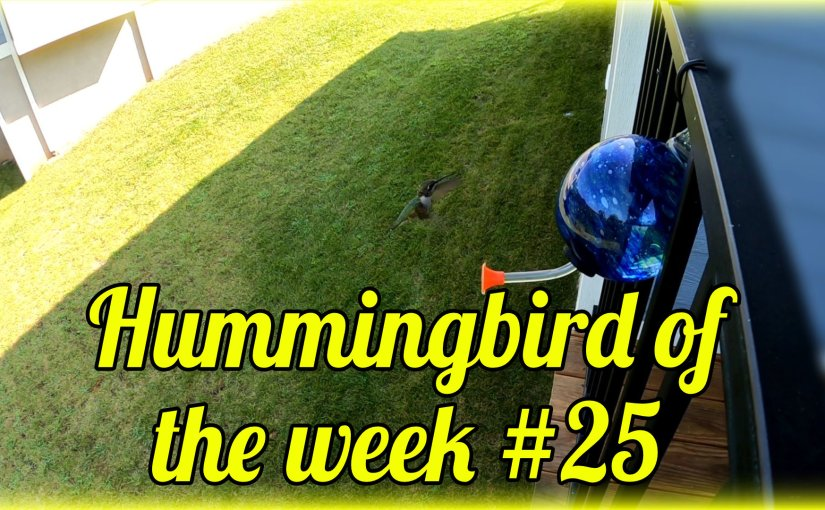 Hummingbird of the week #25