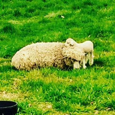 Awe Sheep. That's Irish, right?