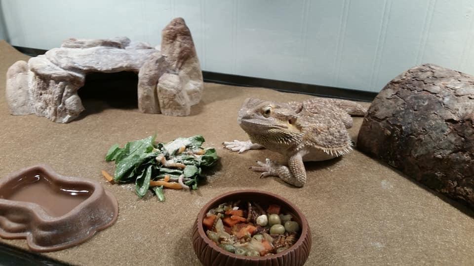 Bearded dragon set-up