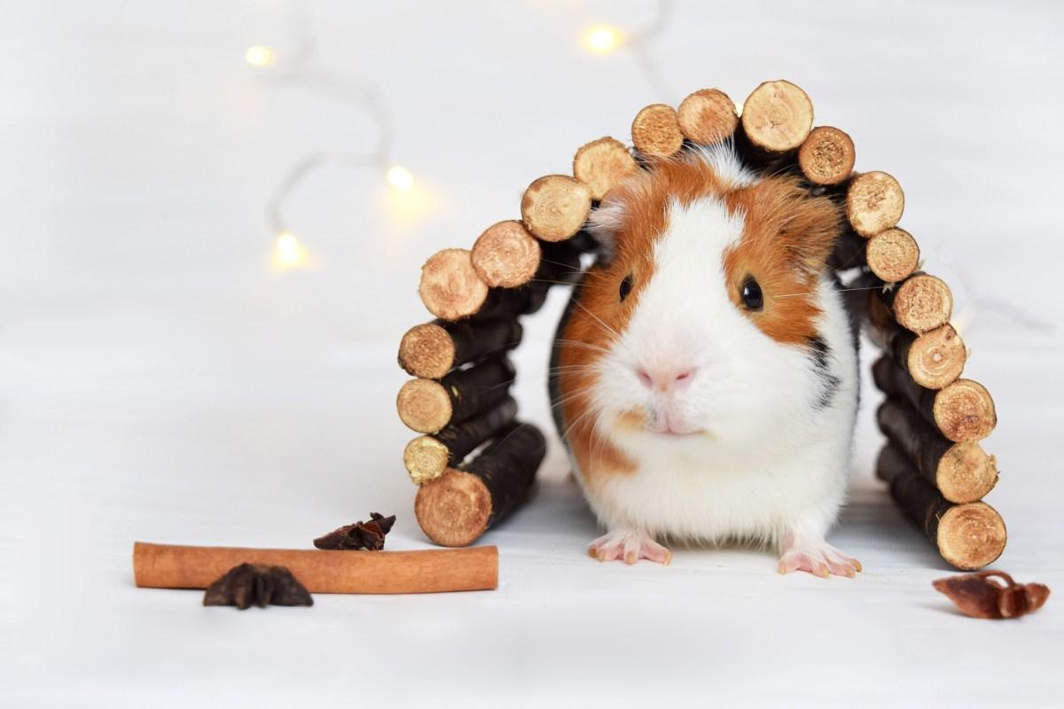 guinea pig hide