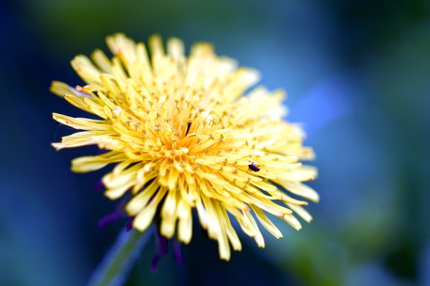 Yard food! Gorgeous, sunny dandelion. © Ichtor | Dreamstime Stock Photos