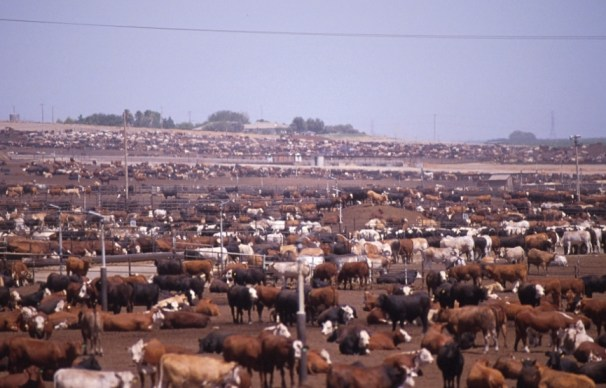 Feedlot cattle. Just picture yourself in that dusty pen with all those bodies, constantly. Flickr Photo Credit: Socially Responsible Agriculture Project, used under Creative Commons. Industrial Feedlot