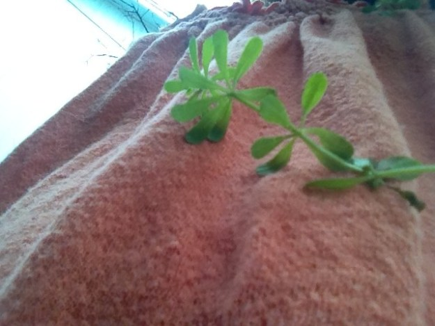 Cleavers - great yard food to eat from the earth. This shows the way cleavers will stick to your shirt - providing a convenient positive identification.