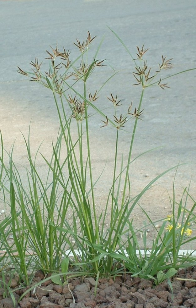 Here it is! The tenacious purple nutsedge, also called nutgrass or Cyperus rotundus. Thanks to wikimedia commons for the image.