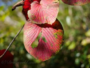 【信越トレイル】紅葉でウットリしてしまう森。紅に染まる関田山脈・鍋倉山のブナ林