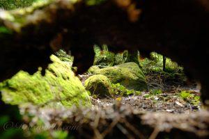 単焦点レンズ(XF16mm、smc PENTAX M50mm、XF90mm)で切り取る北八ヶ岳の森