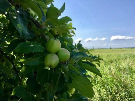 Grüne, wilde Äpfel