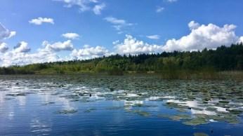 Seerosen auf dem Kleinen Kotzower See
