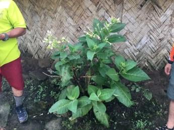 Eine Tabakpflanze