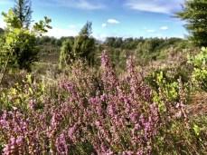 Besenheide in der Lüneburger Heide