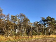 Birken und Kiefern am Ostrand des Moores