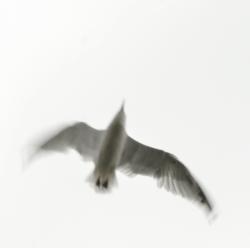 Gull-Flight3