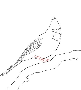 How To Draw A Cardinal Step 10