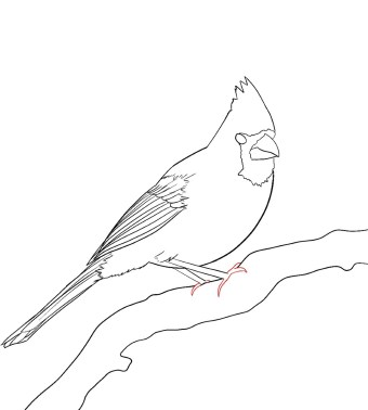 How To Draw A Cardinal Step 11