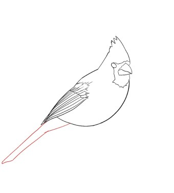 How To Draw A Cardinal Step 7