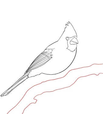 How To Draw A Cardinal Step 9