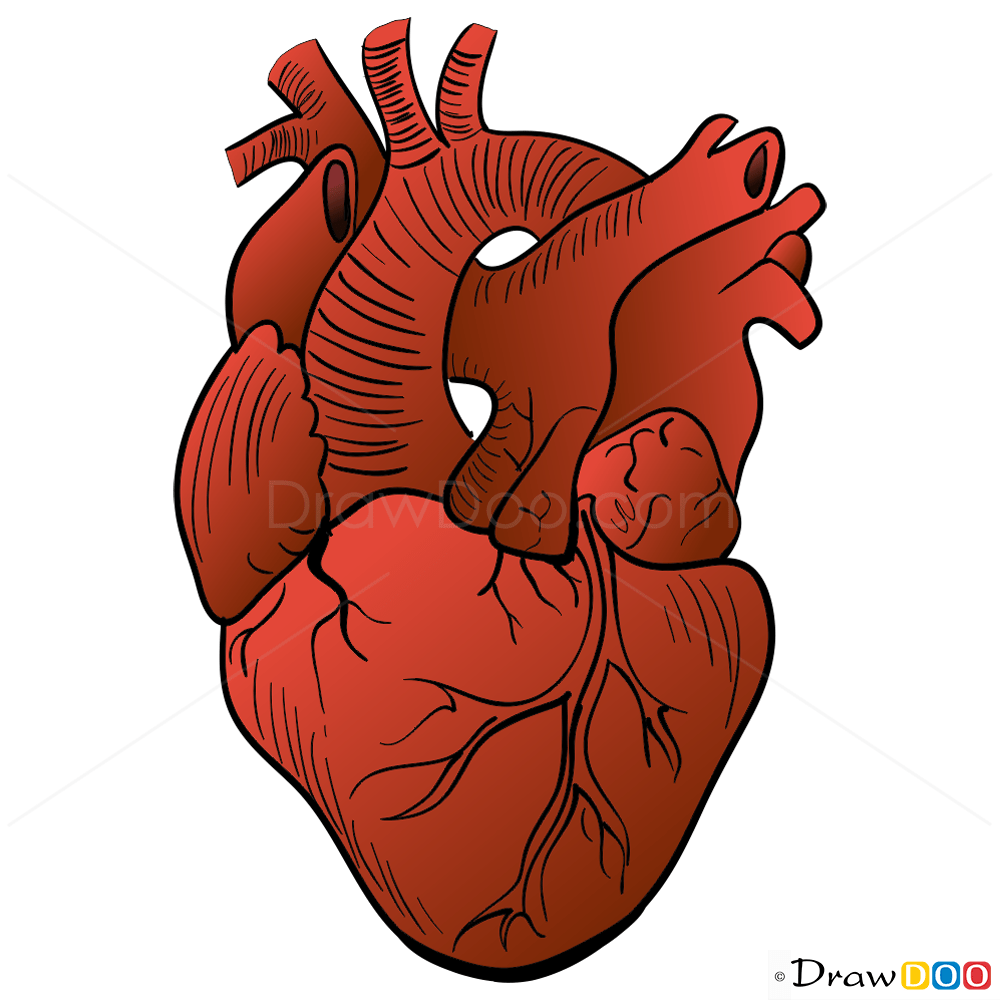 Human Heart Drawing Step By Step Drawing Lessons
