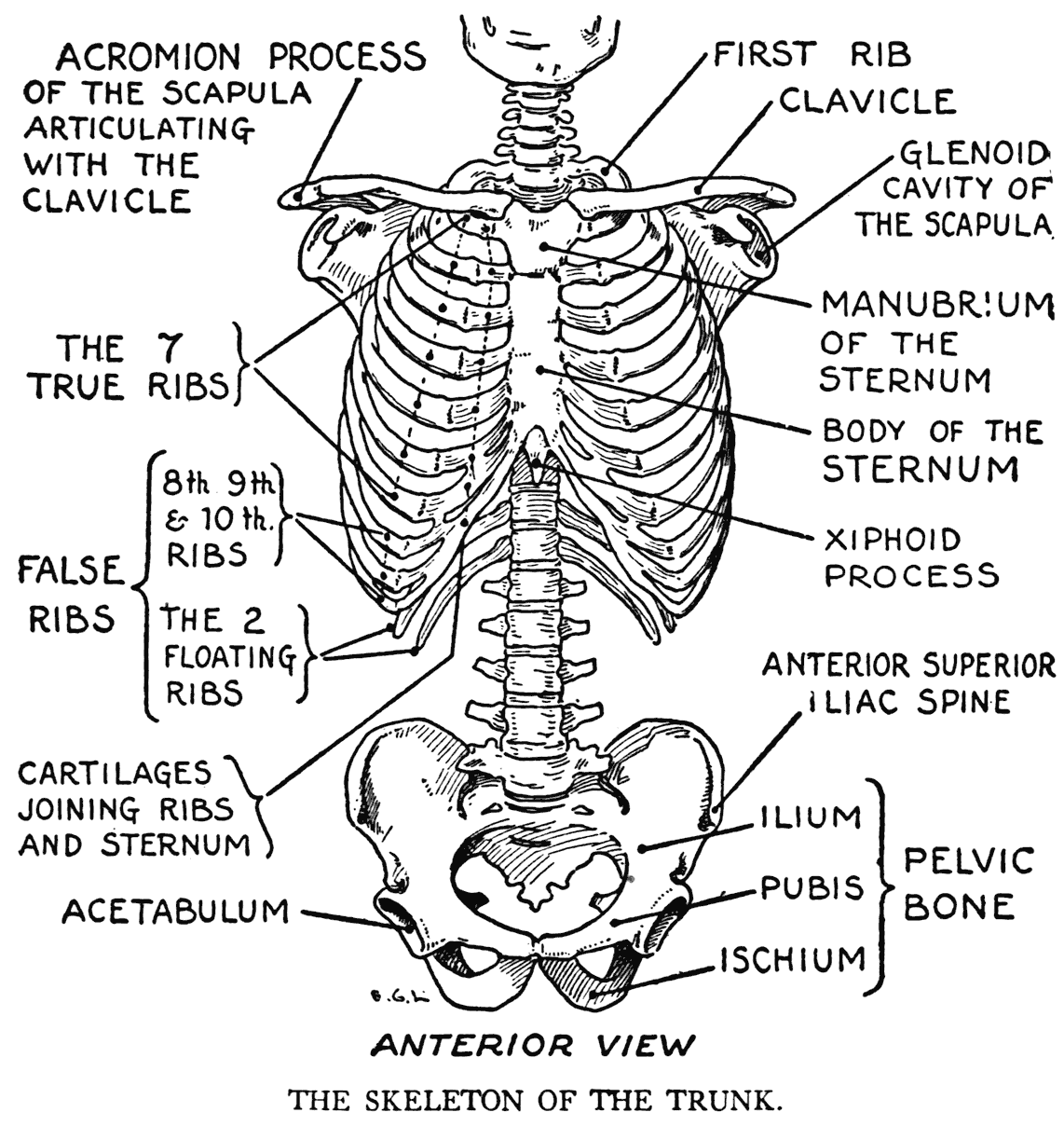 Skeleton Rib Cage Coloring Pages