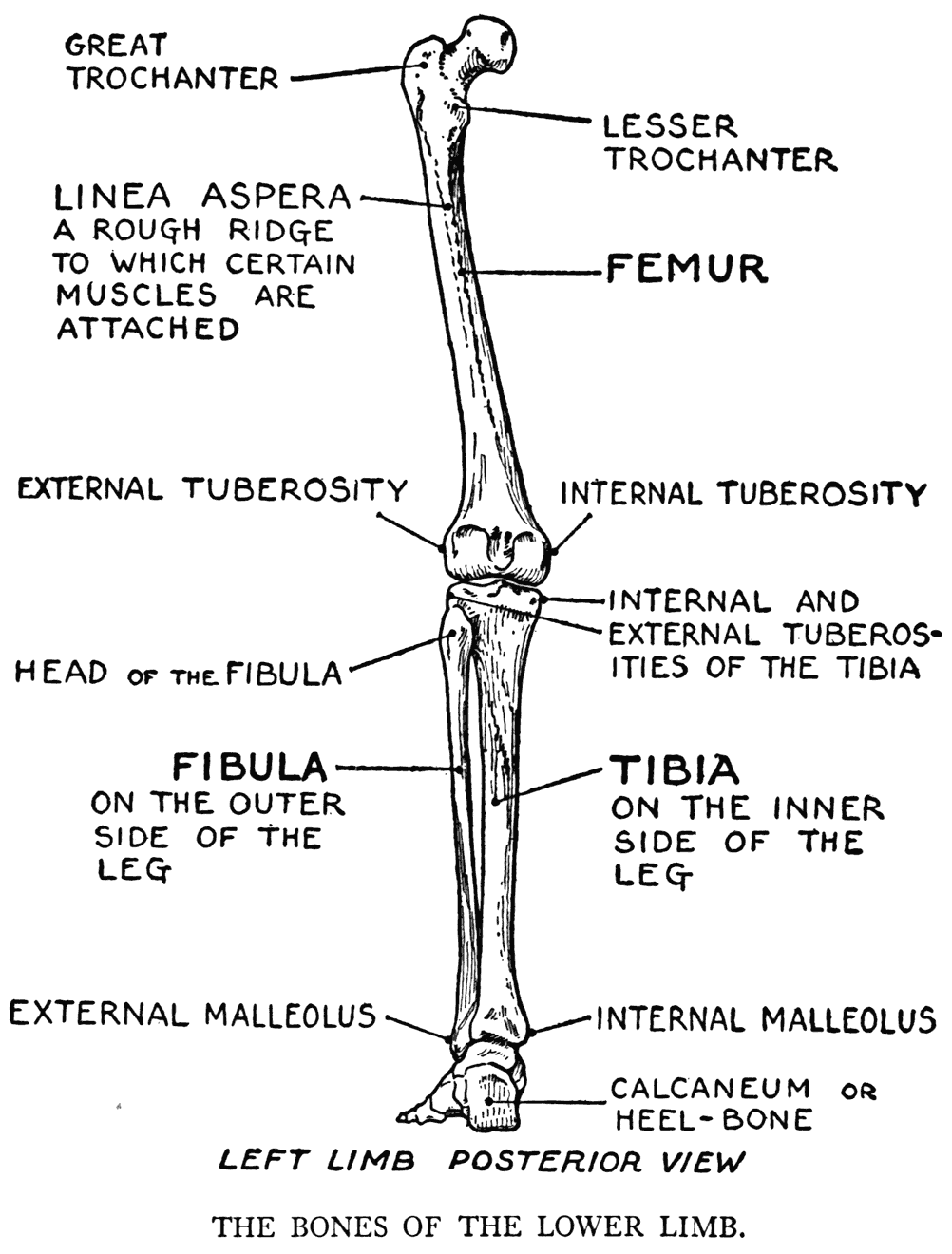 Chicken Wing Muscles Diagram Labeled