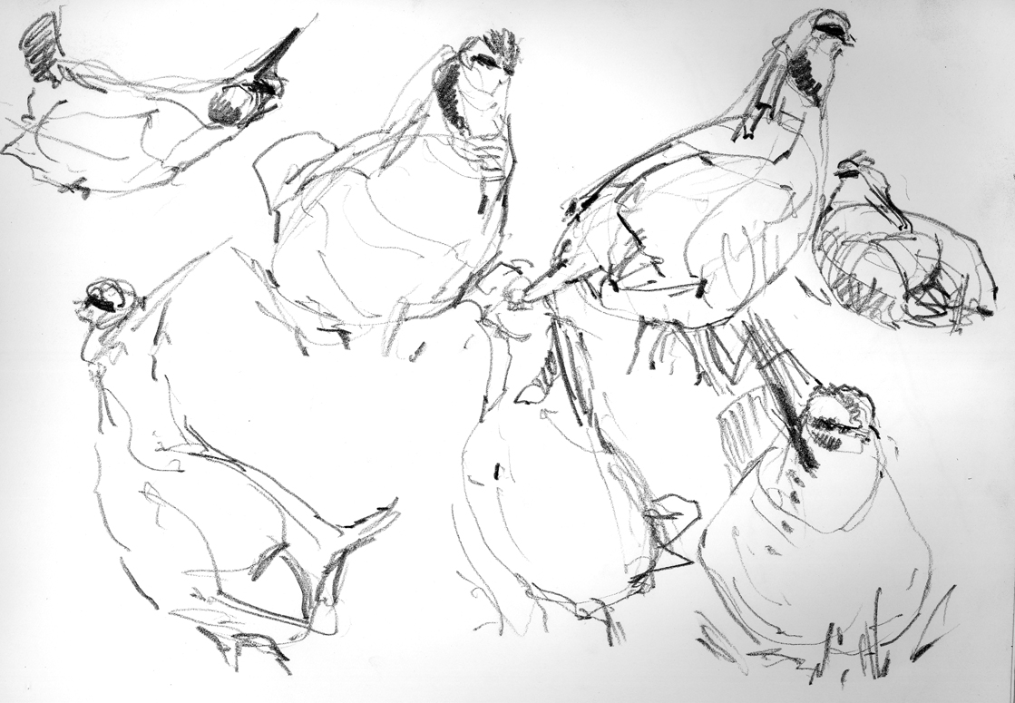 Lesser Prairie Chickens, sketched from inside a blind at their lek at the Selman Ranch near Woodward, Oklahoma.