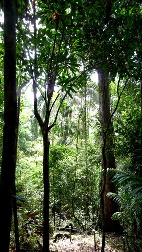 Tall and skinny is the tropical forest, punctuated by some buttressed and vine-covered goliath of a tree.