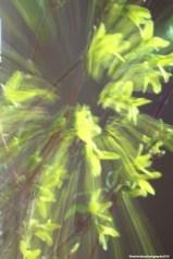 Forsythia zoomburst