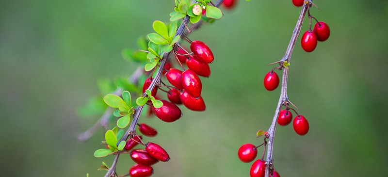 Barberry Benefits Uses Dosage And Side Effects Dr Axe