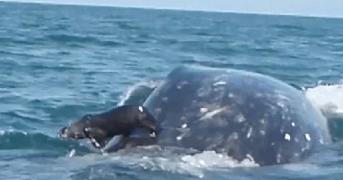Seal Catches A Ride On A Very Unexpected Ocean Friend