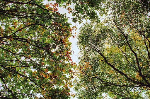 Looking up into a canopy of branches where the leaves of green and yellow reach put and touch.