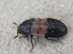 Larder Beetle
