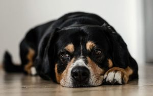 What to Do if Your Dog Has a Seizure advice from Dr Claire Stevens