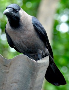 Indian crows have a grey collar and breast.
