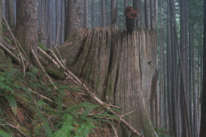 Old growth tree for scale