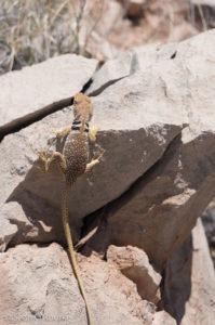 Fauna (collared lizard)