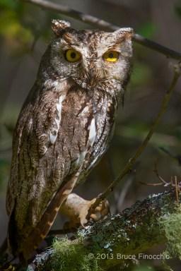 Wild Screech Owl In Sycamore Canyon