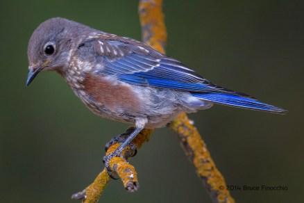 Young Juvenile Male Western Bluebird On A Orange Lichen Branch